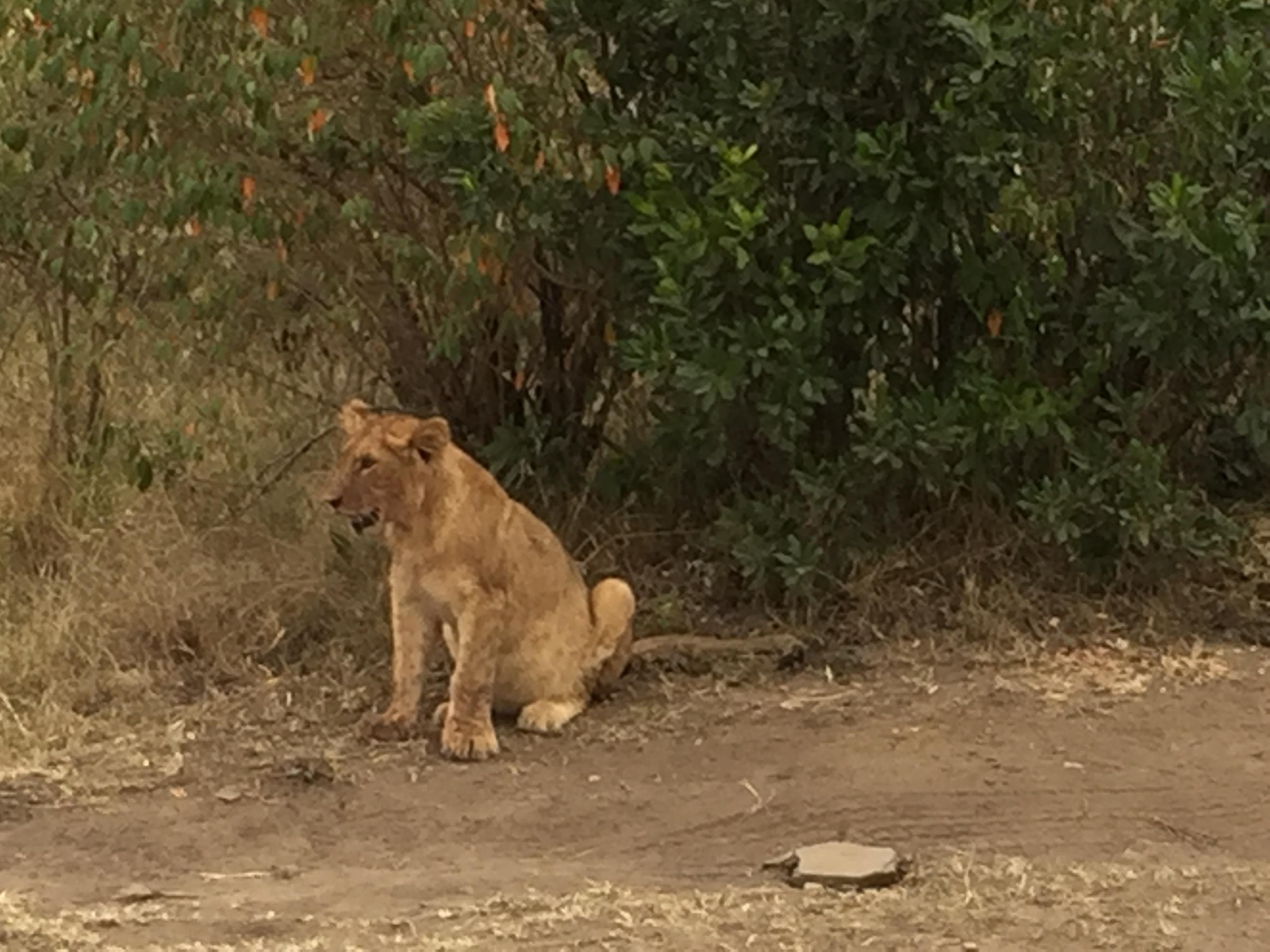 ケニヤでゲームドライブ中に、ライオンの親子発見!!
