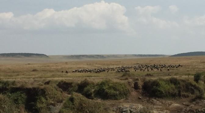 マサイマラ国立保護区で、ヌーの大群がマラ川を渡っているところに遭遇!!